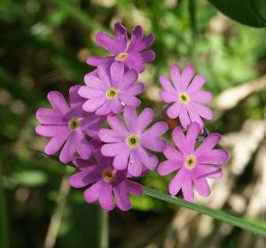 642px-primula_farinosa_flowers_100704