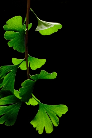 ginkgo_biloba_leaves_-_black_background1