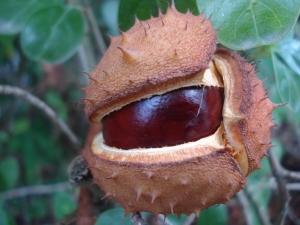 planta-medicinal-castanha-da-india