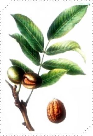 plantas1nogueira