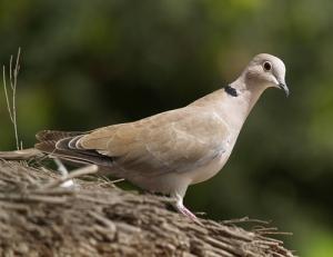 aves-caca