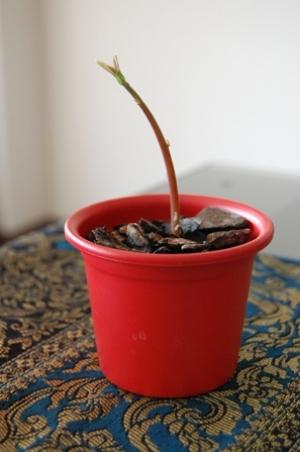 planta-de-abacate