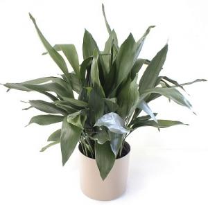plantar-aspidistra
