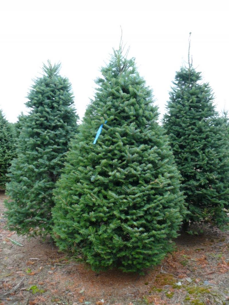 Como plantar uma rvore abeto que dure v rios anos como fazer - Arbol de navidad abeto ...