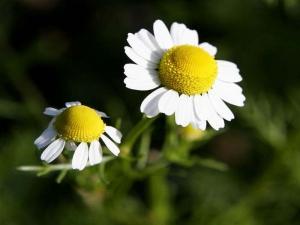 planta-medicinal-camomila