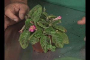 planta-medicinal-chlorella