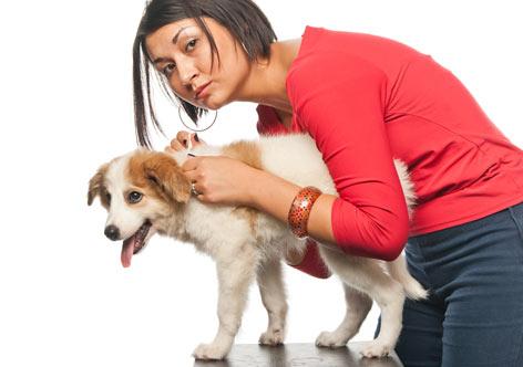 pulgas-cão