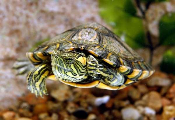 tartaruga-estimação